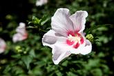 Mugunghwa-Rose..