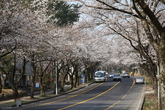 제주대 벚꽃길