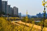 Cherry Blossom in Wonju
