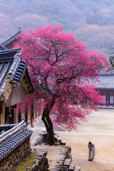 Red Plum Blossoms at Hwaeomsa Temple
