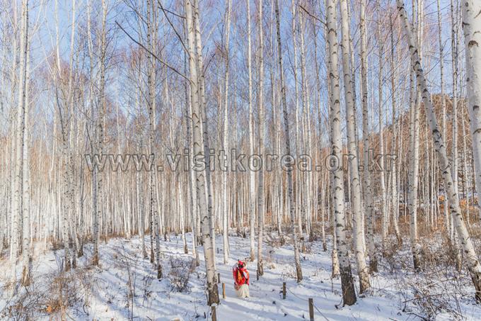 원대리 자작나무숲(속삭이는 자작나무숲)