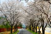 원주 벚꽃