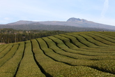 Dosun Tea Plantation