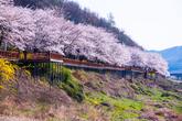 구례 섬진강 벚..