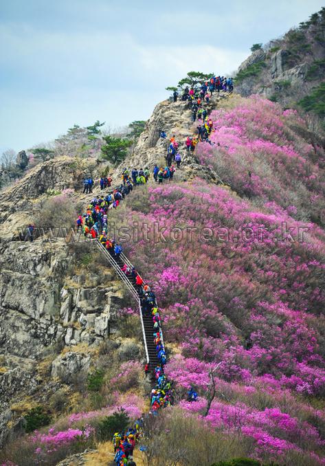 Azaleas of Yeongchwisan Mountain