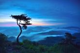 Rising Pine Tree