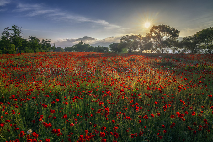The sunrise of the poppy flower garden