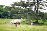 Grazing Area for Jeju Horses