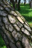 Boeun Pine Tree