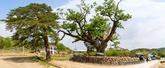 삼척 궁촌리 음나무