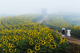 Sunflower Trail of Gangju Village