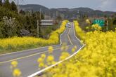 녹산로 유채꽃도로