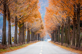 Jinan Metasequoia Road