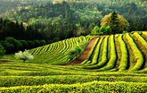 Green Tea Fiel..