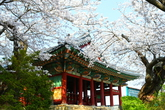 Cherry Blossom in Gangneung