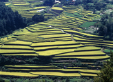Rice Paddy Terrace