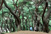 Gyeongju Pine ..