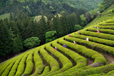 Boseong Green Tea Farm
