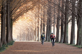 Metasequoia Road in Damyang