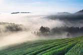 Views of a Green Tea Field