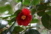 Camellias Flowers