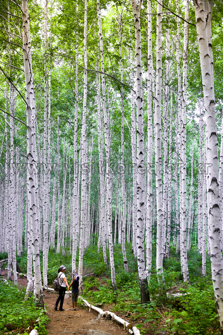 Story of Birch Trees