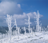 Snowflowers on Mt. Jirisan 
