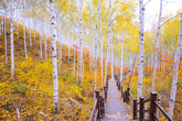 Wondae-ri Birch Forest