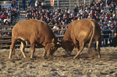 Cheongdo Bull Fight Festival