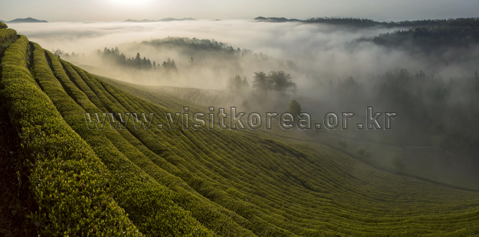 Heavenly Tea Plantation