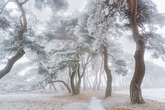 Snow & Frost Covered Pine Grove