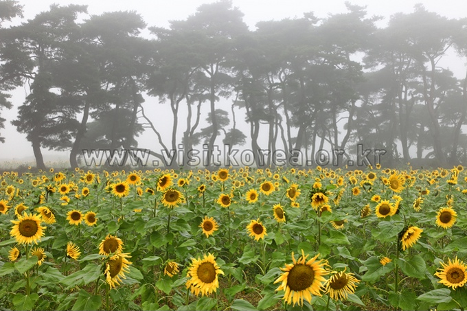 Sunflower Village in Boeun