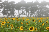 Sunflower Village in Boeun