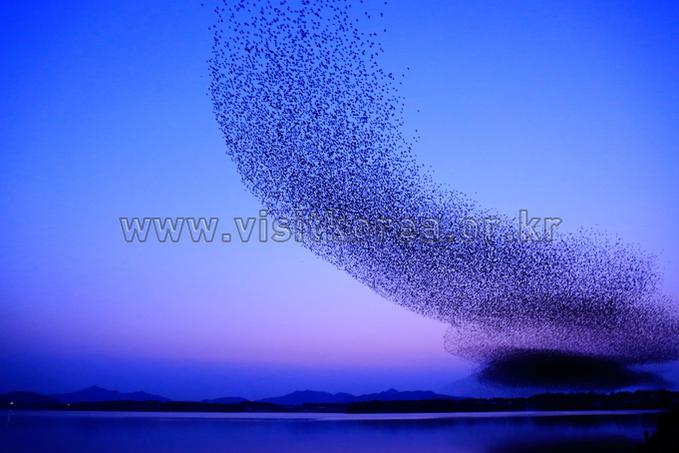 Flock of Baikal Teals