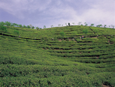 Boseong Dawon,Tea Plantation,Tea Farm