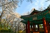 강릉 벚꽃