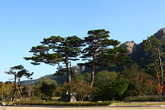 Sokcho Korean Red Pine