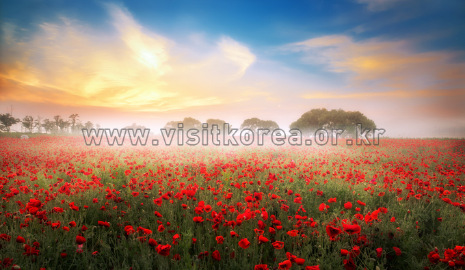 Morning in a Field of Poppies
