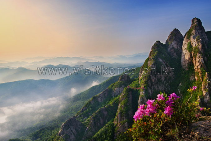 Royal Azaleas on Wolchulsan Mountain