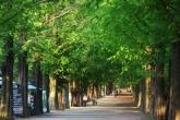 Metasequoia Ro..