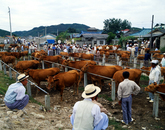 A Cattle Market