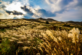 Afternoon in a Silver Grass Field