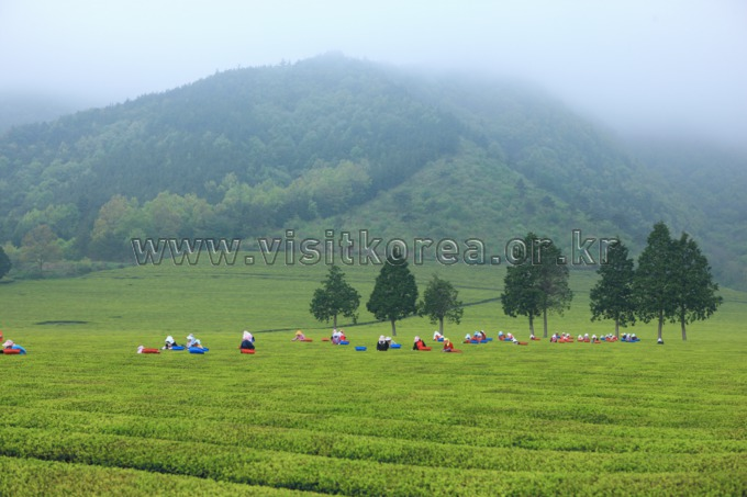 Boseong Dawon (Tea Plantation,Tea Farm)