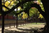 서울문묘 은행나무