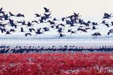 Suncheonman Bay, a Paradise of Migratory Birds