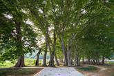 Namwon Loose-flowered Hornbeam Grove