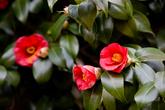 Camellias Flowers