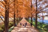 Damyang Metasequoia Tree Road