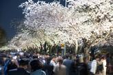 2019 Yeongdeungpo Yeouido Spring Flower Festival