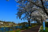 삼척 벚꽃
